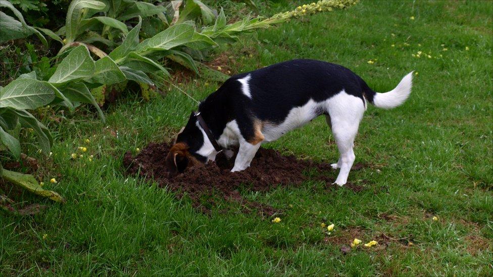 dog digging