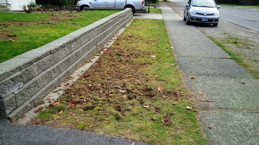 chafer beetle destroys grass