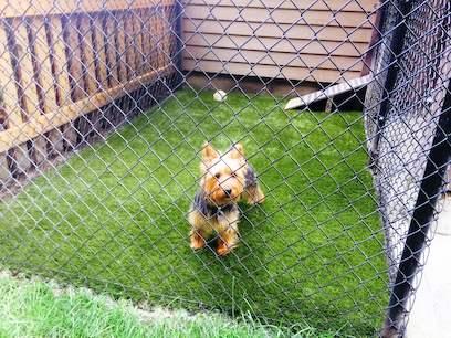 Yorkie in dog run